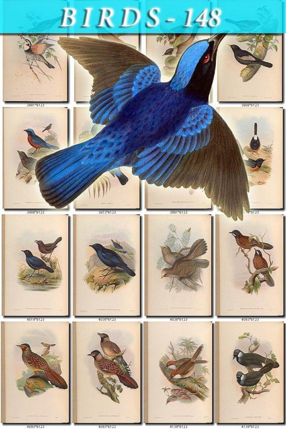 BIRDS-148 182 vintage print