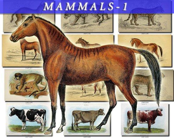 MAMMALS-1 108 vintage print