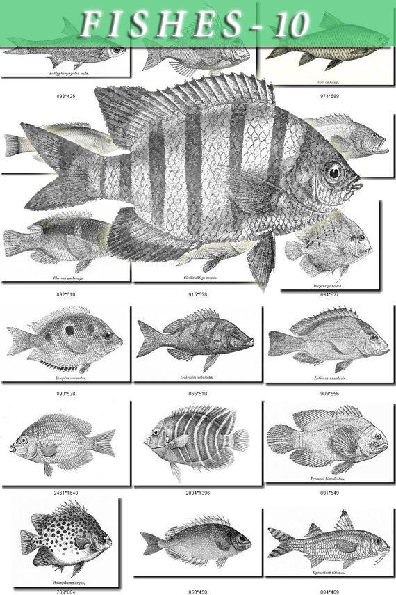 FISHES-10-bw 340 black-, -white vintage print