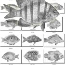 FISHES-10-bw 340 black-, -white vintage print