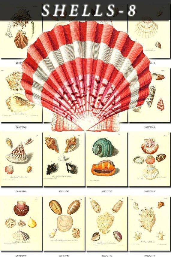 SHELLS-8 214 vintage print