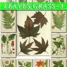 LEAVES GRASS-3 219 vintage print