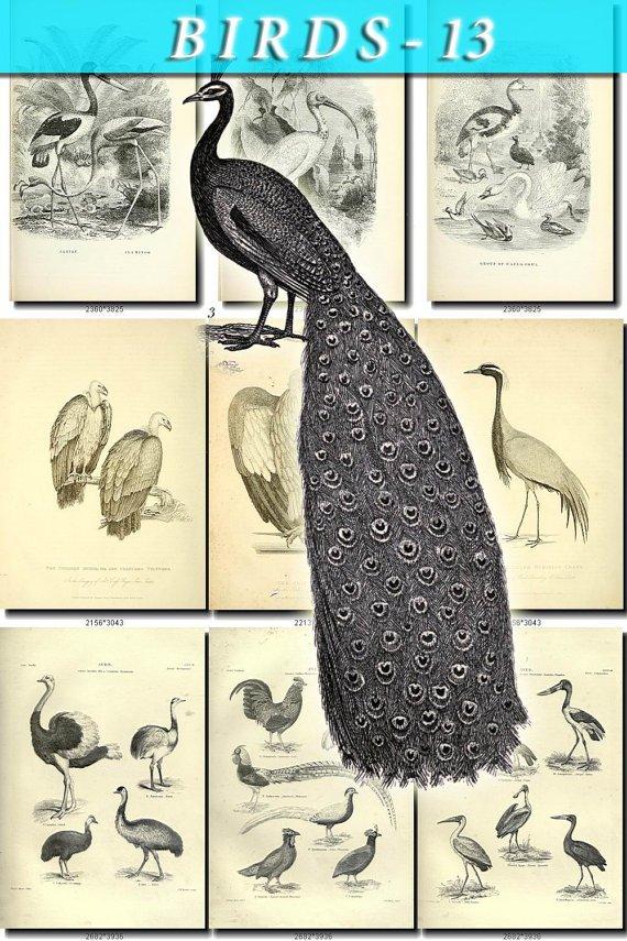 BIRDS-13-bw 203 black-, -white vintage print