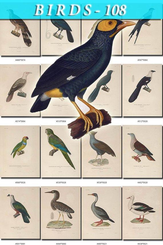 BIRDS-108 59 vintage print