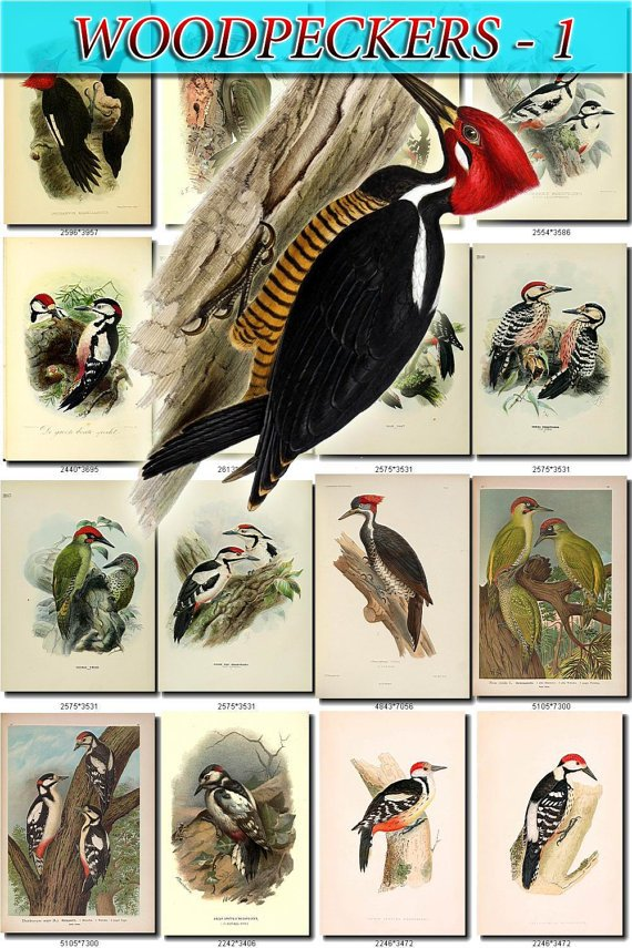 WOODPECKERS-1 Birds 121 vintage print