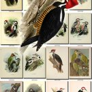 WOODPECKERS-1 Birds 121 vintage print
