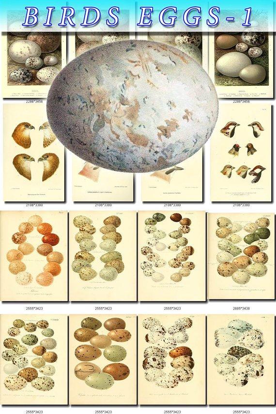 BIRDS EGGS-1 319 nests heads vintage print