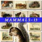 MAMMALS-13 218 vintage print