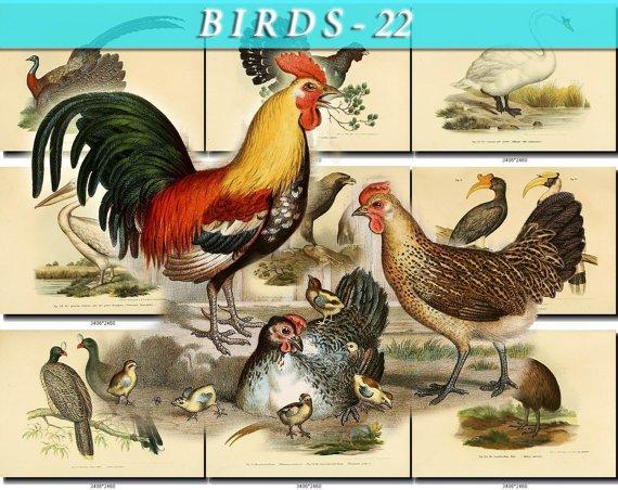 BIRDS-22 207 vintage print