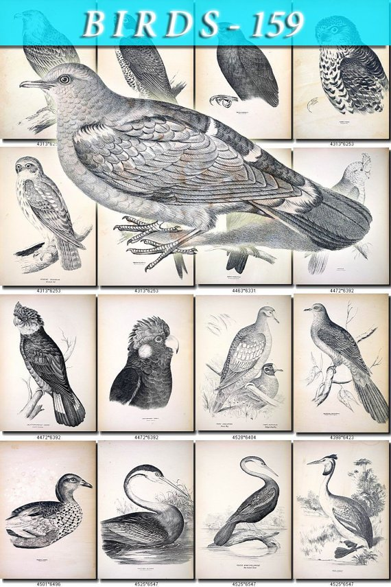 BIRDS-159-bw 242 black-, -white vintage print