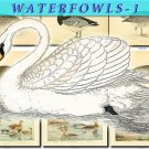WATERFOWLS-1 Birds 54 vintage print