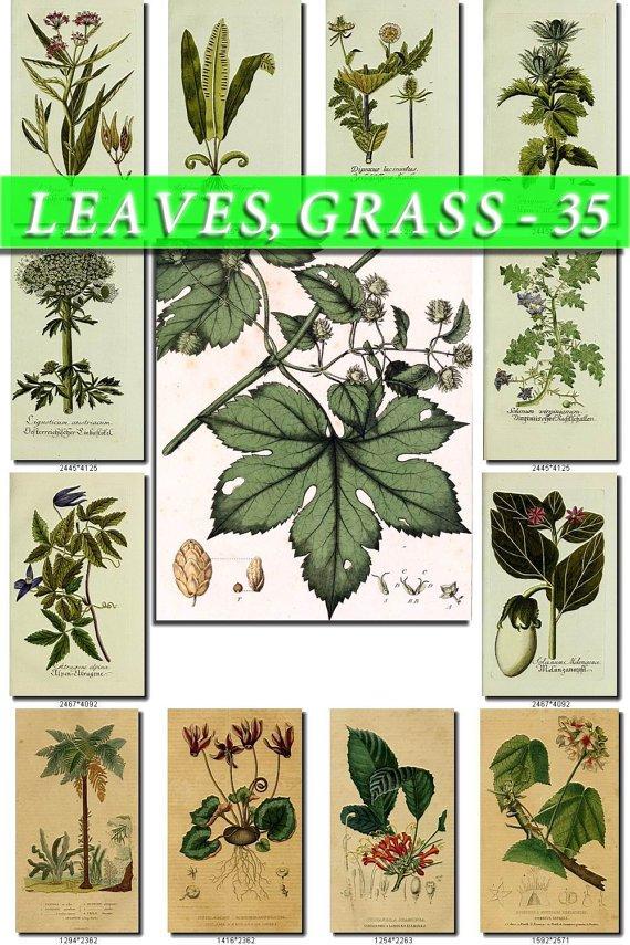 LEAVES GRASS-35 193 vintage print