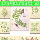 LEAVES GRASS-62 208 vintage print