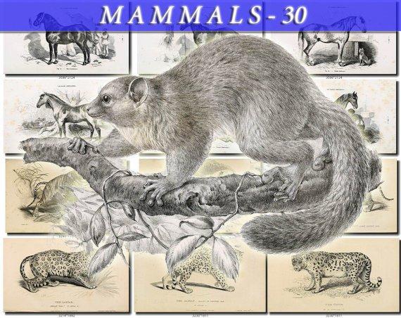 MAMMALS-30-bw 154 black-, -white vintage print