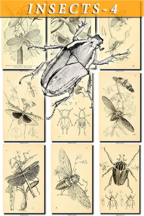 INSECTS-4-bw 237 black-, -white vintage print