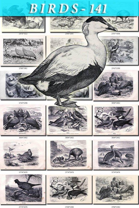 BIRDS-141-bw 145 black-, -white vintage print