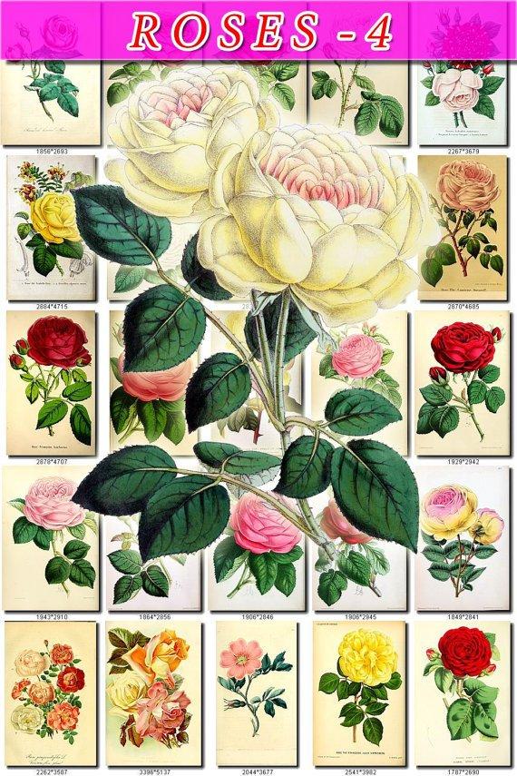 ROSES-4 150 beautiful vintage print
