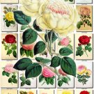 ROSES-4 150 beautiful vintage print