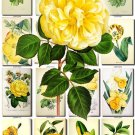 YELLOW-1 FLOWERS 165 vintage print