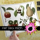 Vintage Fruit Img. Antique Fruit Img. Clipart