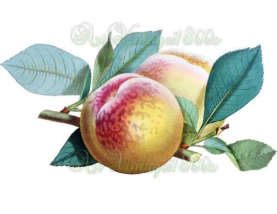 JUICY FRUIT-003 Princess of Wales Peach vintage print