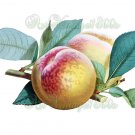 JUICY FRUIT-003 Princess of Wales Peach vintage print