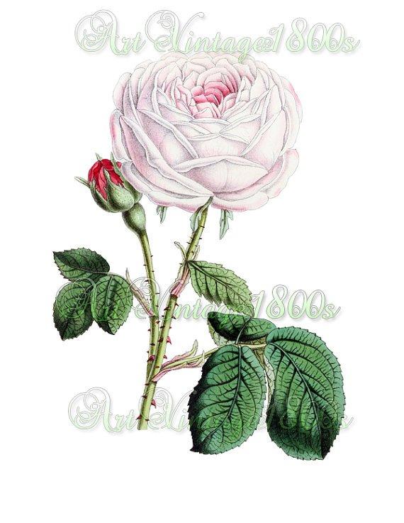 BEAUTIFUL FLOWER-011 Rose vintage print