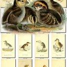NESTLINGS-2 Birds 200 vintage print