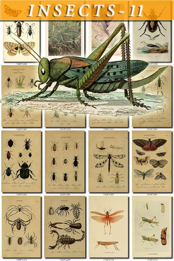 INSECTS-11 254 vintage print