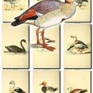 BIRDS-105 57 vintage print
