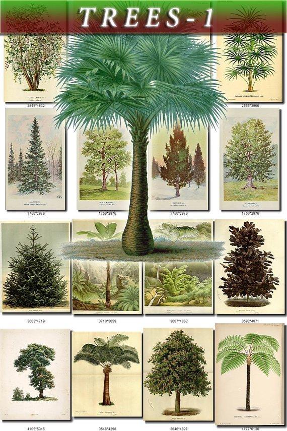 TREES-1 288 vintage print