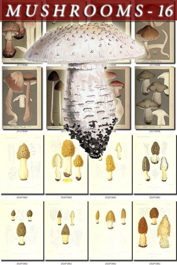 MUSHROOMS-16 329 vintage print