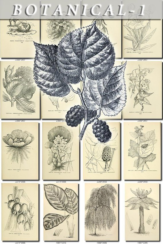 BOTANICAL-1-bw 437 black-, -white vintage print