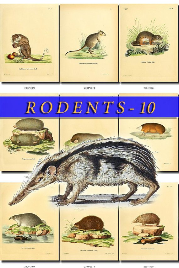 RODENTS-10 49 vintage print