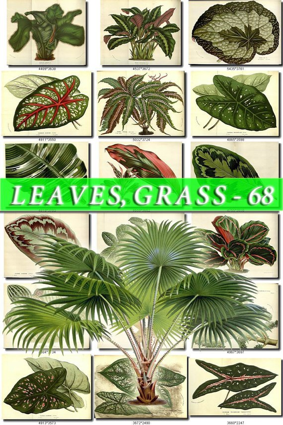 LEAVES GRASS-68 276 vintage print