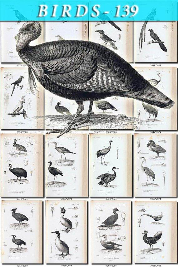BIRDS-139-bw 130 black-, -white vintage print