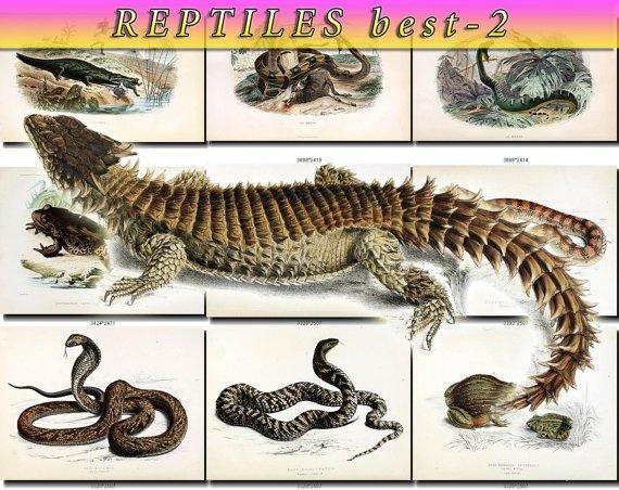 REPTILES BEST-2 & AMPHIBIAS images 105 vintage print