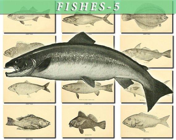 FISHES-5-bw 111 black-, -white vintage print