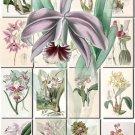ORCHIDS-8 flowers 230 vintage print