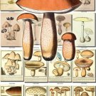 MUSHROOMS-13 273 vintage print