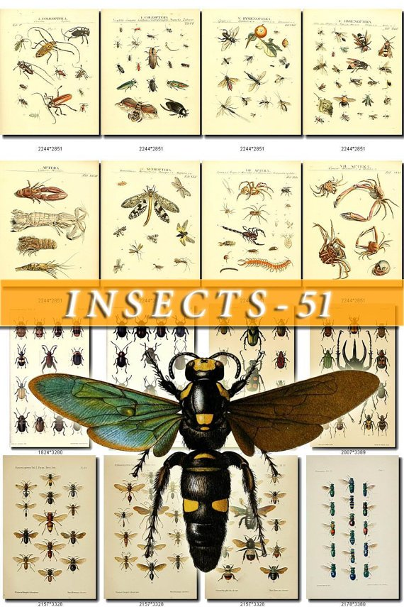 INSECTS-51 238 vintage print