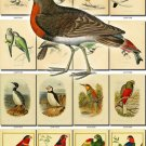 BIRDS-27 245 vintage print