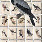 BIRDS-93 173 vintage print