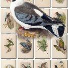 BIRDS-151 75 vintage print