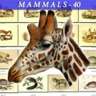 MAMMALS-40 100 vintage print