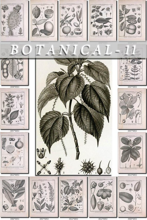 BOTANICAL-11-bw 541 black-, -white vintage print
