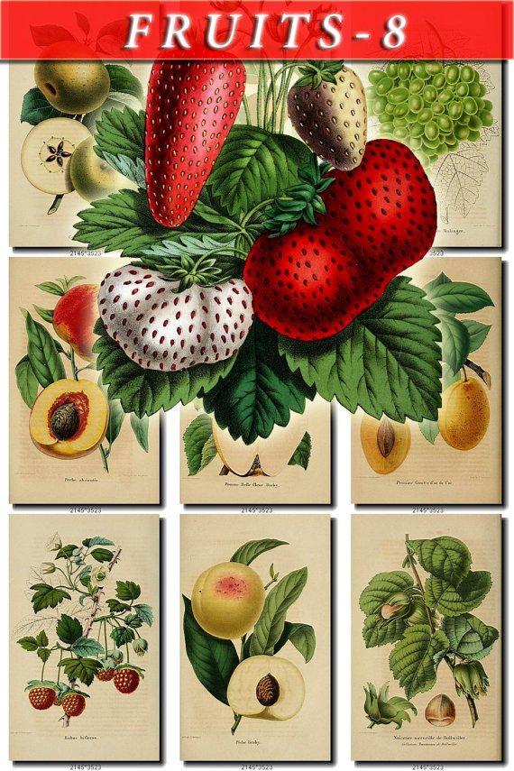 FRUITS VEGETABLES-8 52 vintage print