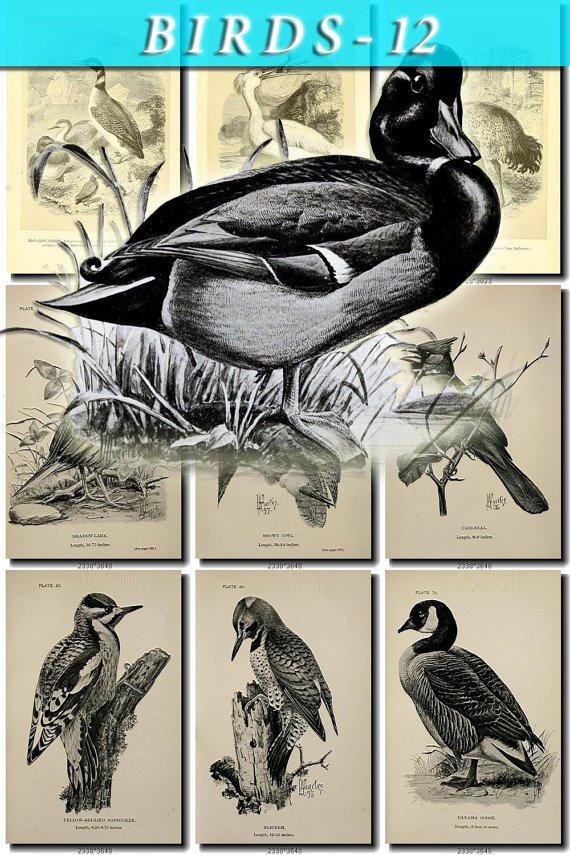 BIRDS-12-bw 157 black-, -white vintage print