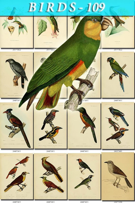 BIRDS-109 65 vintage print