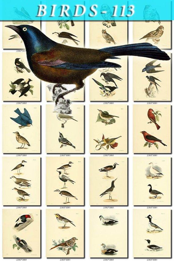 BIRDS-113 140 vintage print